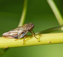 Froghopper on Stem by Sue Robinson