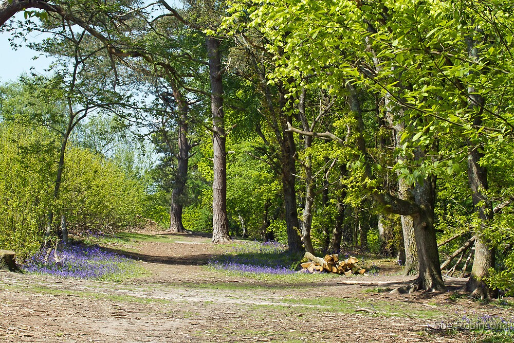 Bluebells in Woodland Clearing by Sue Robinson