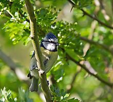 Blue Tit with Food by Sue Robinson
