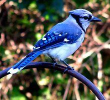 BLUE JAY by katemmo