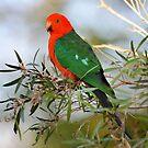 Male King Parrot. Cedar Creek, Qld, Aust. by Ralph de Zilva