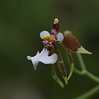 Orchid by johnnycuervo