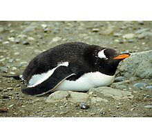 Gentoo Penguin Having A Lie Down Photographic Print
