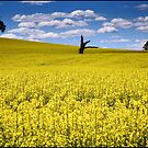 Canola Fields by kcy011