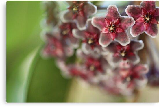 Hoya Flowers by MiloAddict