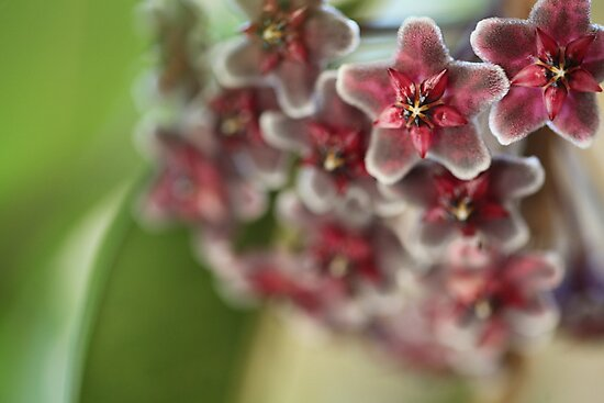 Hoya Flowers by MiloAddict