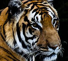 Tiger head shot by TC3 Photography