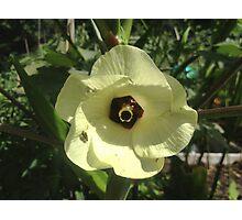Giant Yellow Hibiscus 'Old Yella' Photographic Print