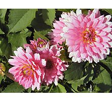 Gorgeous Dahlias Photographic Print