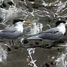 Crested Terns by mncphotography