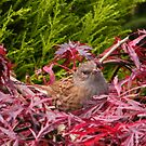 Sparrow, 14th October 2012 by ElsT