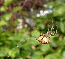 Cross Back Garden Spider by Jess Meacham