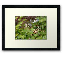 Cross Back Garden Spider Framed Print