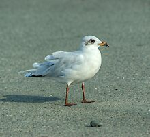 Mediterranean Gull (Second Winter) by VoluntaryRanger