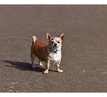 Small Dog with Attitude Photographic Print