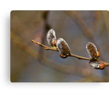 Catkins in Sunlight Canvas Print