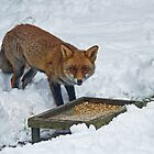 Fox in Snow by Sue Robinson