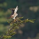 Kestrel shows her wings by Anthony Brewer