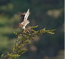 Kestrel shows her wings Photographic Print