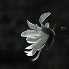 Magnolia Stellata by Sue Robinson