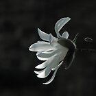 Magnolia Stellata by Sue Robinson