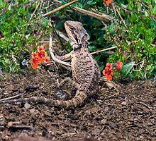 Bearded Dragon - Kanmantoo, Adelaide Hills, SA by Mark Richards