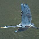 Heron in flight by Anthony Brewer