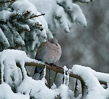 Collared Dove in Snow by Sue Robinson