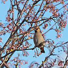 Waxwing and Rowanberries by Sue Robinson