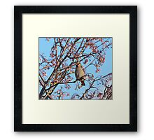 Waxwing and Rowanberries Framed Print