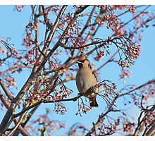 Waxwing and Rowanberries Photographic Print