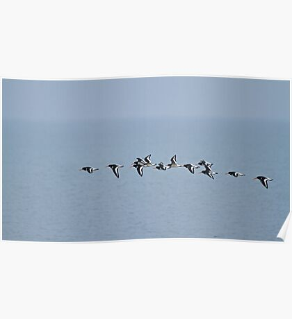 Oystercatchers Flying Poster
