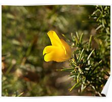 Gorse Flower in Sunlight Poster