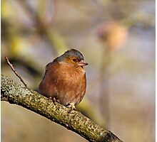 Chaffinch in Sunlight Photographic Print