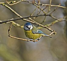 Blue Tit by Sue Robinson