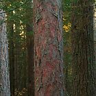 Pine Forest At Sunrise by Aaron Bottjen