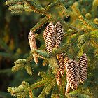 Fir Tree Cones by Sue Robinson