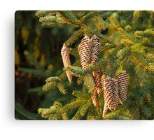 Fir Tree Cones Canvas Print
