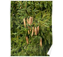 Christmas Tree Fir Cones  Poster