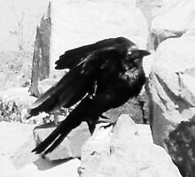 Black & White Crow by StormSageRain