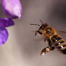 Honey Bee on Eremophila nivea Grampians by Janette Rodgers