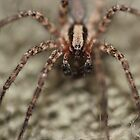 Arizona Wolf Spider by Jazzy724