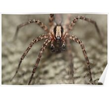 Arizona Wolf Spider Poster