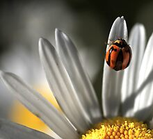 A ladybird on a daisy by Clare Colins