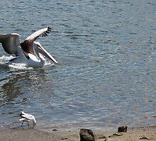 Pelican I by StormSageRain