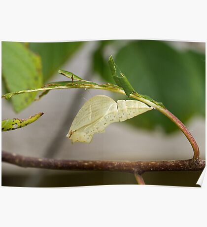 Empty Chrysalis case of Brimstone butterfly Poster