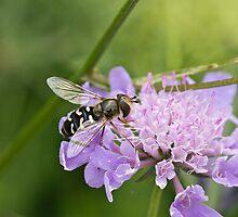 Hoverfly Scaeva pyrastri by Sue Robinson