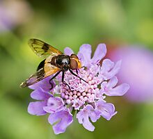 Hoverfly Volucella pellucens by Sue Robinson
