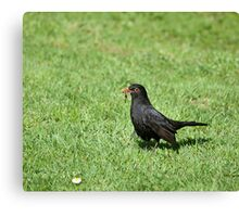 Blackbird with Worms Canvas Print