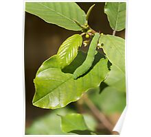 Brimstone Butterfly Caterpillar Poster
